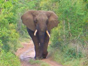 7.-Aggressive-Elephant