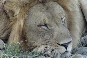 BOT.Lazy-Lionn