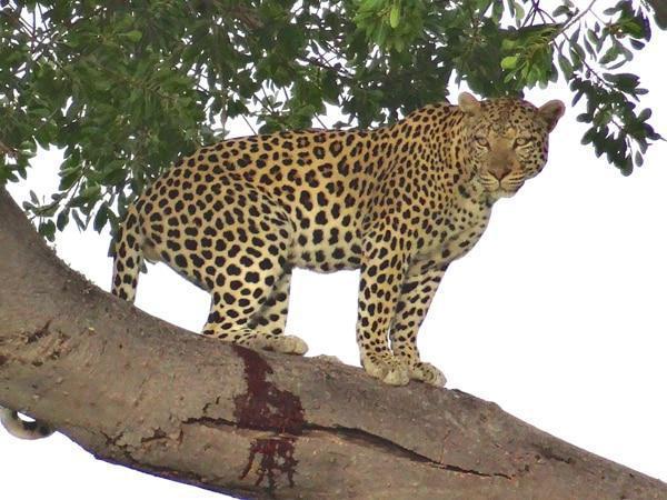 etosha leopard up tree namibia tour