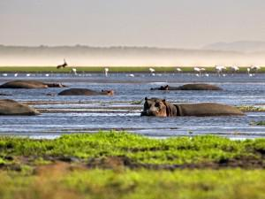 South Africa, Sint Lucia, Greater Sint Lucia Wetlands, Hippos ( hippopotamus ).