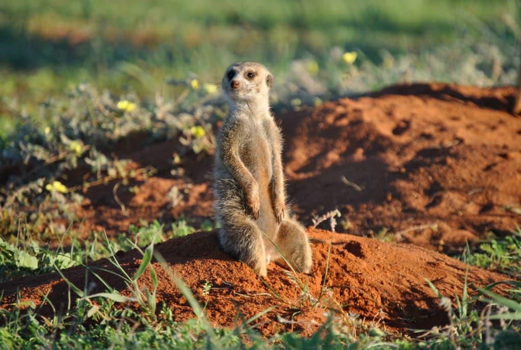 Tswalu Meerkat