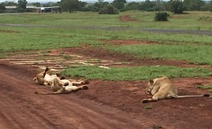 Naptime on the airstrip, Phinda